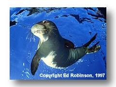 Monk Seal image